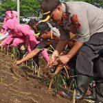 Perkuat Tanggul Sungai Brantas Porong, TNI-Polri Tanam Rumput Vetiver
