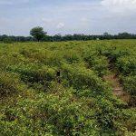 Curah Hujan Tinggi, Petani Cabai di Blitar Terancam Bangkrut