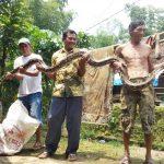 Cari Air Minum Untuk Ternaknya, Warga Pungging Mojokerto Tangkap Ular Sepanjang 4 Meter