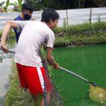Harga Ikan Gurami di Tulungagung Anjlok Terdampak Covid-19