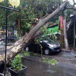 Pohon Tumbang di Kawasan Perkotaan Tulungagung, Timpa Mobil dan Teras Ruko