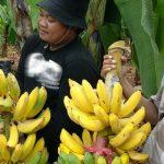 Setahun Tanaman Pisang di Lamongan ini Bisa Hasilkan Rp 450 Juta Per Hektare
