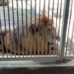 Kurus, DLH Kota Probolinggo Nyatakan Singa Sera Sehat