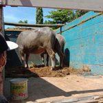 Bermodus Beli Kerbau Online, Komplotan Rampok di Kota Probolinggo Incar Truk