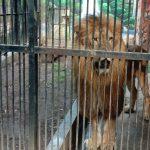 Jatah Makan Binatang Tak Dikurangi, Tapi Singa di TWSL Kota Probolinggo Kurus