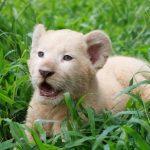 Kelahiran Bayi Singa Putih Menambah Koleksi Satwa di TSP Pasuruan