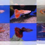 Omset Peternak Ikan Gupi di Tulungagung Capai Jutaan Rupiah