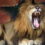 Sempat Kurus, Singa Penghuni TWSL Kota Probolinggo Kini Gemuk