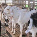 Wabah Corona, Pedagang di Tulungagung Tak Berani Stok Hewan Kurban
