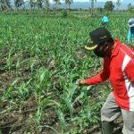 Puluhan Hektare Tanaman Jagung di Situbondo Diserbu Ulat Tentara