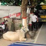 Mengamuk di Jalan Raya Kota Blitar, Polisi Terpaksa Tembak Sapi Kurban