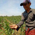 Tanaman Jagung Diserang Ulat, Petani di Kota Probolinggo Terancam Merugi