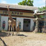 Kindi, Anak Jerapah yang Lahir Saat Pandemi di Maharani Zoo Lamongan