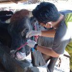 Sidak Pengepul Hewan Kurban, Petugas Temukan Kambing dan Sapi di Situbondo Berpenyakit