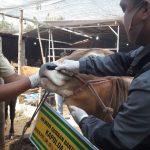 Jelang Idul Adha, Disnak Jombang Sidak Lapak Pedagang Sapi