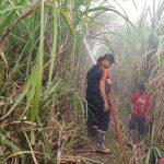 Tanaman Tebu Milik Petani Situbondo Terbakar, Dua Hektare Ludes