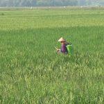 Puluhan Hektare Tanaman Padi Siap Panen di Jombang Diserang Wereng