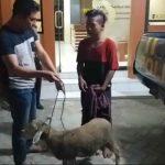 Kelabui Warga, Pemuda di Jember Curi Kambing Lalu Dibungkus Kain Sarung