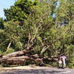 Pohon Asam Tumbang di Situbondo, Arus Lalin Situbondo-Bondowoso Macet