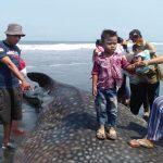 Hiu Tutul Terdampar di Pantai Paseban Jember, Pertanda Nelayan Bakal Panen Tangkapan