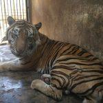 Harimau di Mazola Terlihat Kerempeng, Berapa Berat Badannya Setelah Ditimbang?
