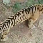Harimau Kerempeng di Mazola Diklaim Karena Faktor Usia