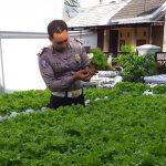 Inovasi di Tengah Pandemi, Seorang Polisi di Banyuwangi Menekuni Hidroponik