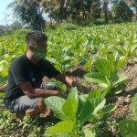 Pupuk Subsidi Belum Jelas, Petani di Jember Gunakan Pupuk Home Industri