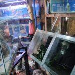 Toko Ikan Hias di Jember Dibobol Maling, Arwana dan Louhan Mahal Raib