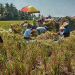Petani di Banyuwangi Menjerit, Keluhkan Harga Pupuk Bersubsidi Selangit
