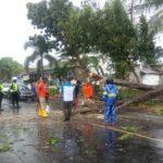 Pohon Tumbang Diterjang Angin Kencang, Jalur Pantura Situbondo-Probolinggo Sempat Macet Total