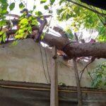 Tertimpa Pohon Besar, Rumah Milik Lansia di Situbondo Rusak Berat