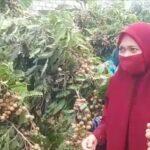 Asyiknya Wisata Petik Buah Kelengkeng di Desa Banyubang, Lamongan
