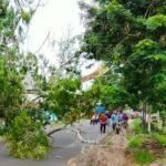 Pohon Akasia Roboh, Jalur Lumajang – Jember Macet Satu Jam