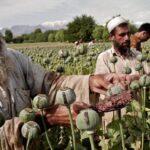Daftar 5 Negara Produsen Narkoba Terbesar di Dunia