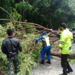 Pengendara Motor Tertimpa Pohon Tumbang di Situbondo