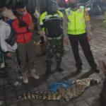 Warga Sidoarjo Tangkap Buaya Sepanjang 2 Meter di Sungai Gisik Cemandi