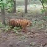 Hoaks Video Harimau Berkeliaran di Hutan Solokuro Lamongan, Ini Faktanya