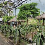 Agrowisata Buah Naga Gading Asri Jember, Lokasi Mudah Dijangkau, Tiket Pun Terjangkau