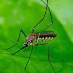 Cara Alami Usir Nyamuk  dengan Tanaman
