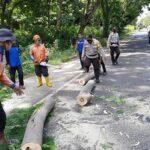 Pohon Tumbang, Jalur Pantura Situbondo Sempat Macet