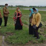 Terdampak Banjir, 116 Hektare Padi di Tulungagung Dipastikan Puso