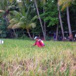 Puluhan Hektar Tanaman Padi di Situbondo Diserang Hama Wereng