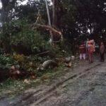 Dua Pohon Johar di Trawas Mojokerto Tumbang Timpa Kabel PJU
