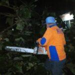 Pohon Jati Tumbang Halangi Jalan, Jalur Pantura Situbondo Macet