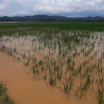 Dampak Banjir, Ratusan Hektar Sawah di Tulungagung Terancam Puso