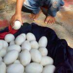 Puluhan Butir Diduga Telur Buaya Ditemukan Warga Lamongan di Bantaran Bengawan Solo