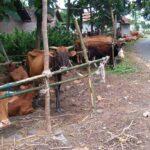 Tiga Hari Banjir di Jombang, Kambing dan Sapi Turut Mengungsi