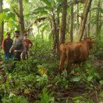 Diduga Coba Dicuri Maling, 4 Ekor Sapi di Blitar Ditemukan Terikat di Hutan