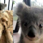 Kisah Mengharukan Seekor Anjing Menyelamatkan Bayi Koala